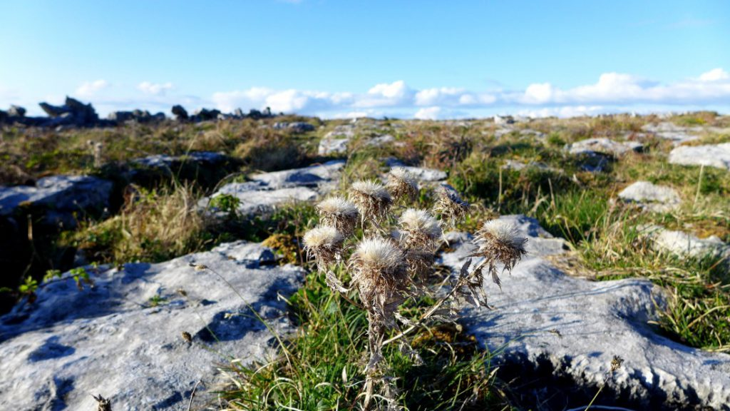 Doolin irland burren vegetation